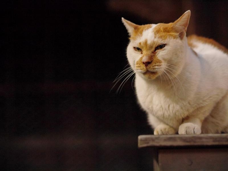 夜の境内ベンチの白茶猫1