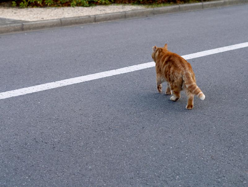 立ち去って行くアメショー風柄の猫1