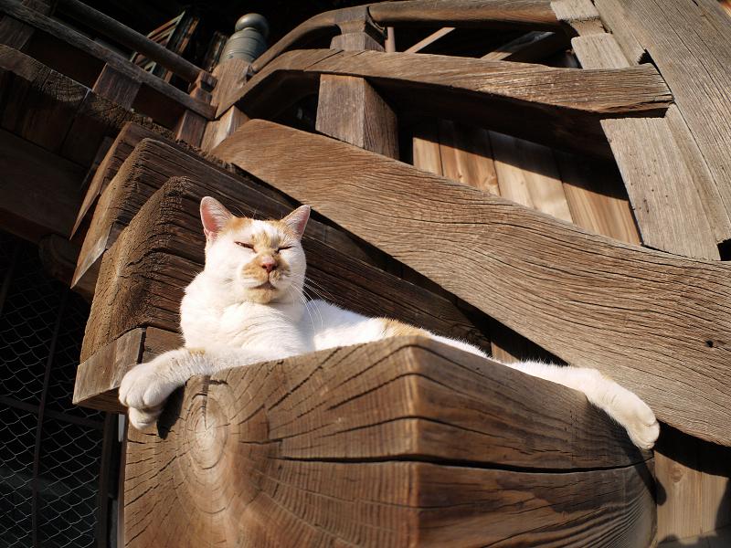 階段の端の白茶の猫2