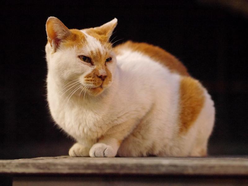 夜の境内ベンチの白茶猫2