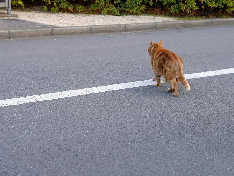立ち去って行くアメショー風柄の猫2