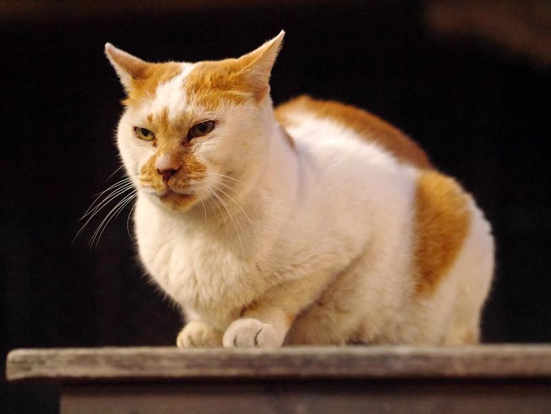 夜の境内ベンチの白茶猫3