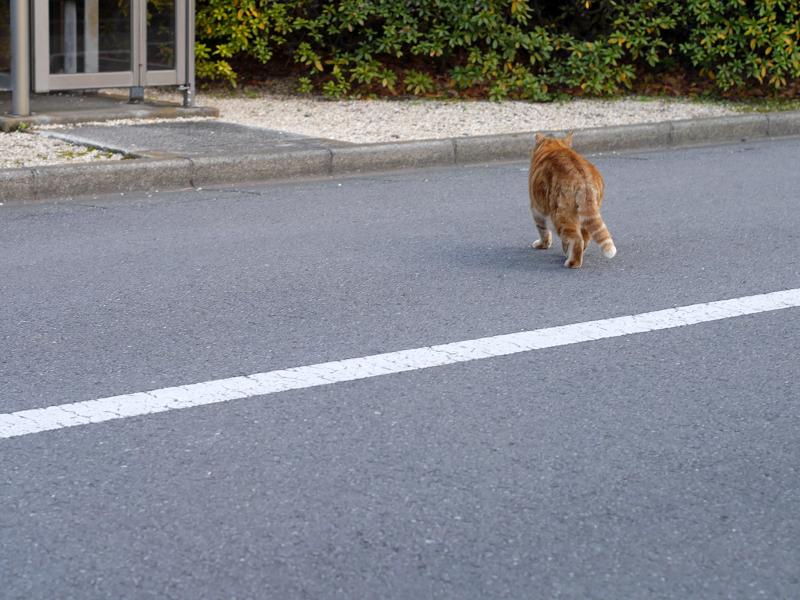 立ち去って行くアメショー風柄の猫3