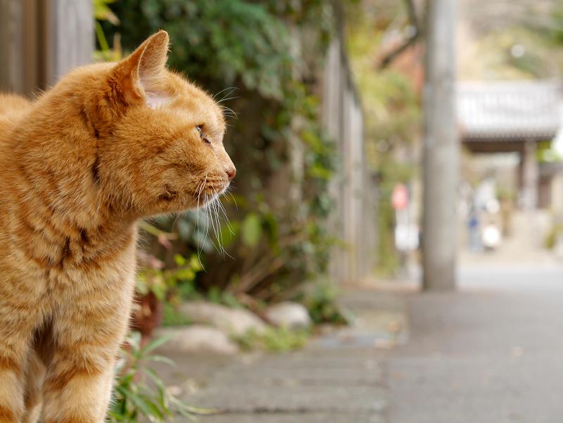 寺前の茶トラ猫1