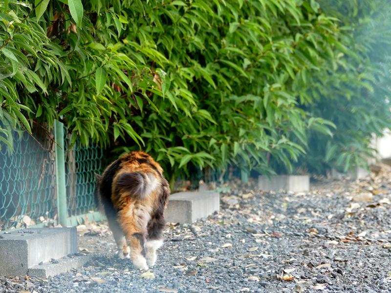 車止めの毛長の三毛猫1