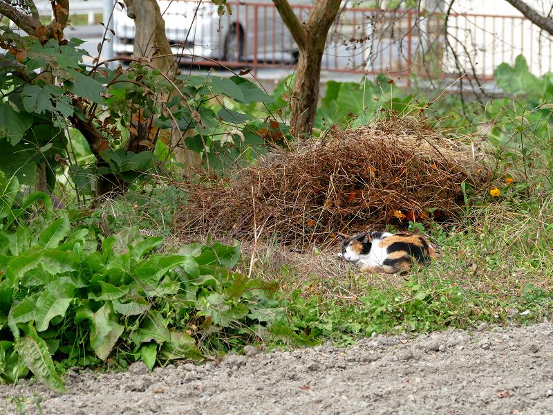 広い庭の三毛猫1
