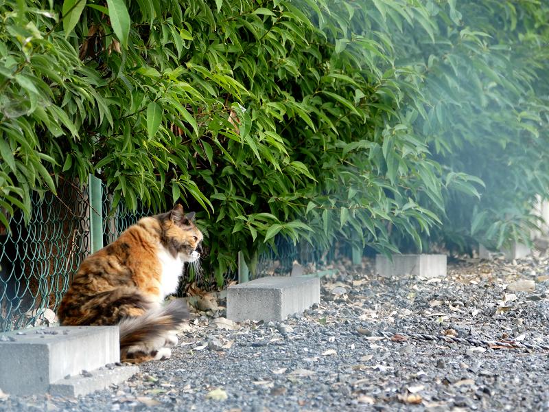 車止めの毛長の三毛猫2