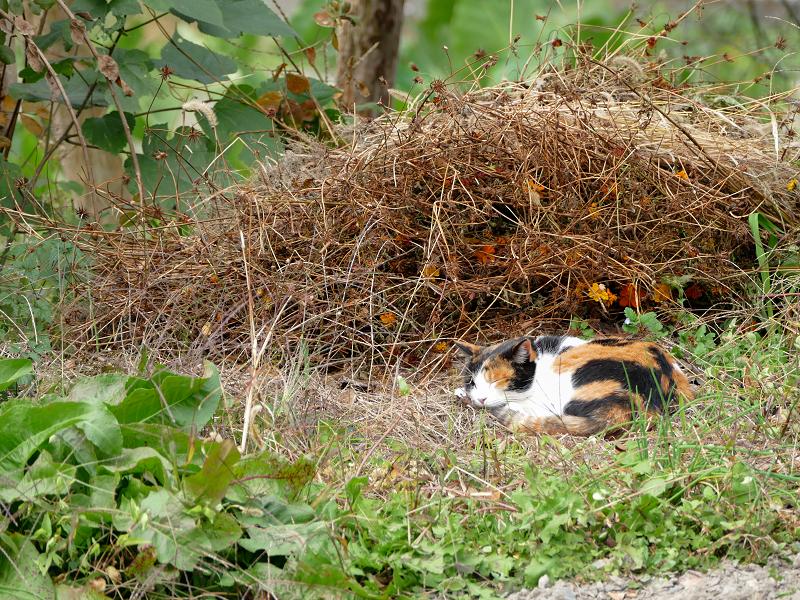 広い庭の三毛猫2