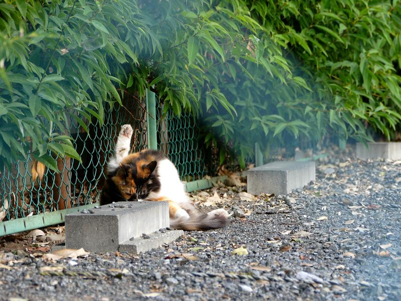 車止めの毛長の三毛猫3