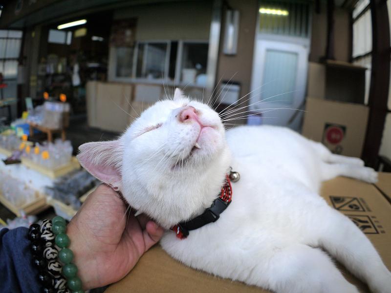 頭を触られる白猫1
