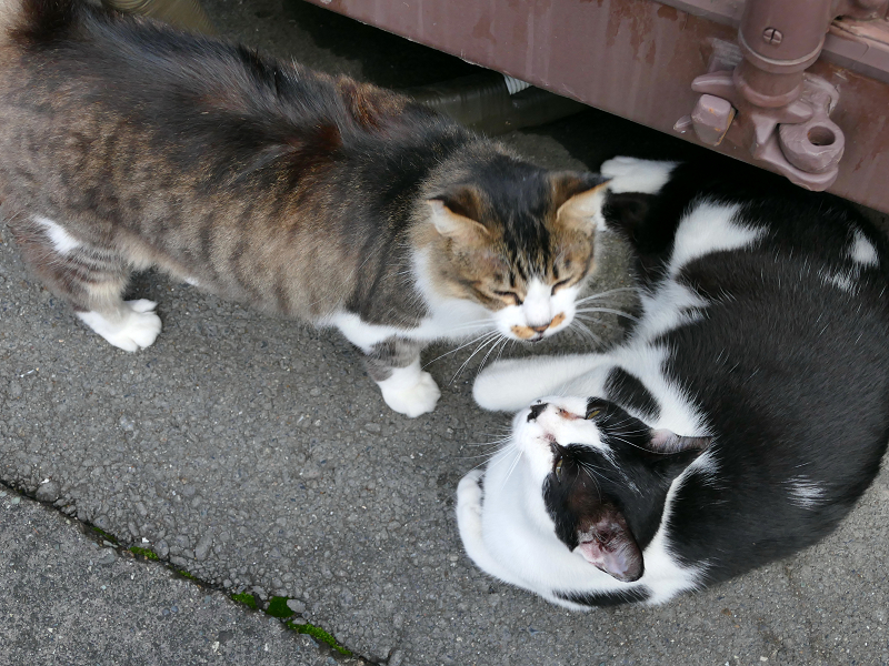 コンテナ横の毛長のキジ白と黒白猫のハイアングル1