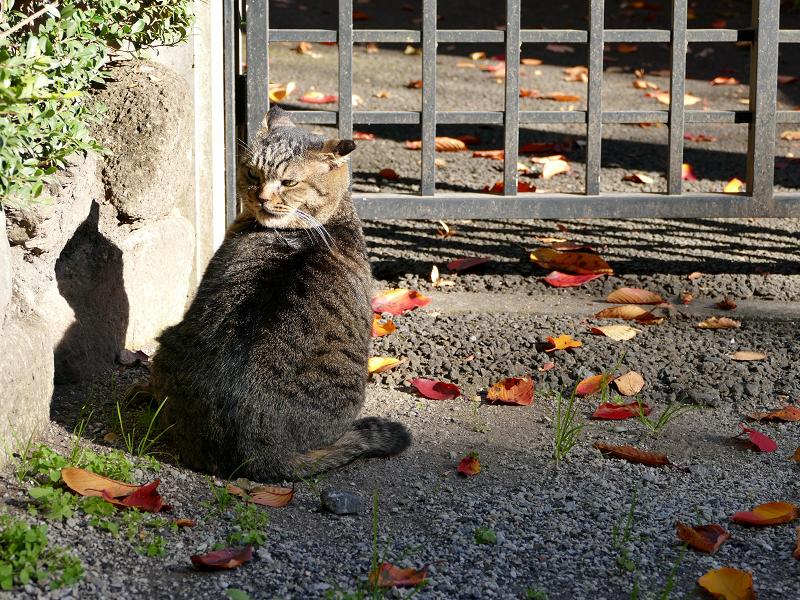 門扉前で待ってるキジトラ猫1