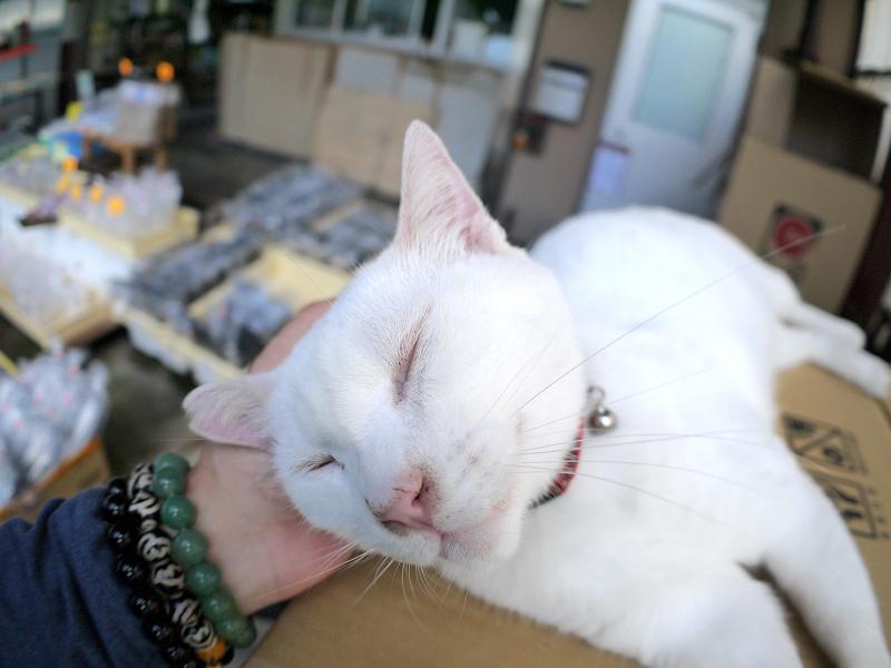 頭を触られる白猫
