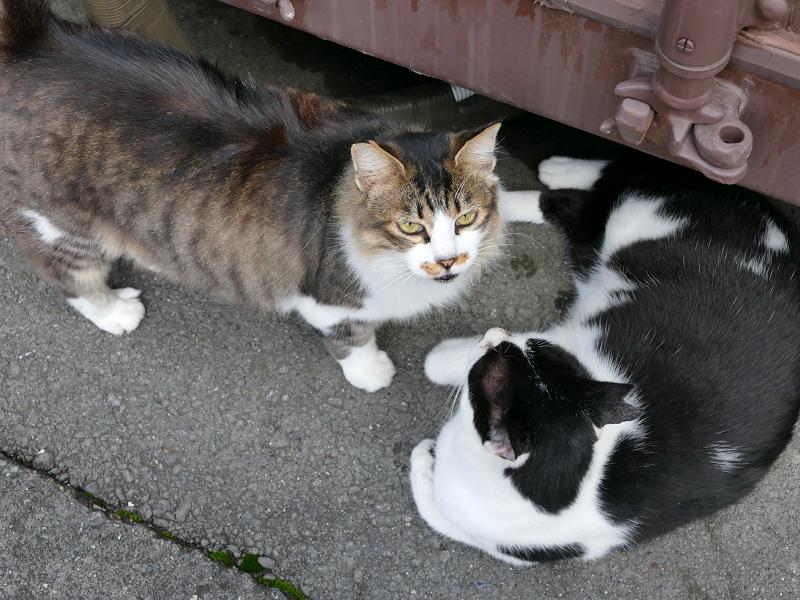 コンテナ横の毛長のキジ白と黒白猫のハイアングル2