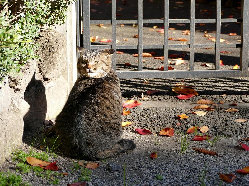 門扉前で待ってるキジトラ猫2