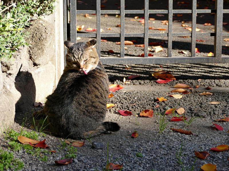 門扉前で待ってるキジトラ猫3