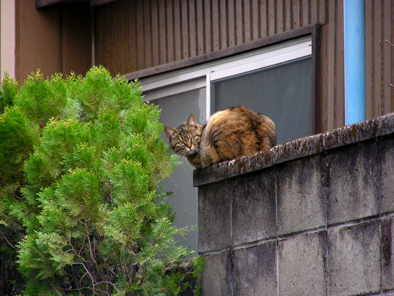 ブロック塀から振り返るキジトラ猫1
