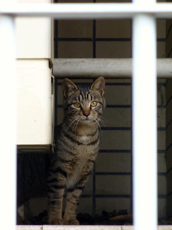 物陰に隠れたキジトラ猫1