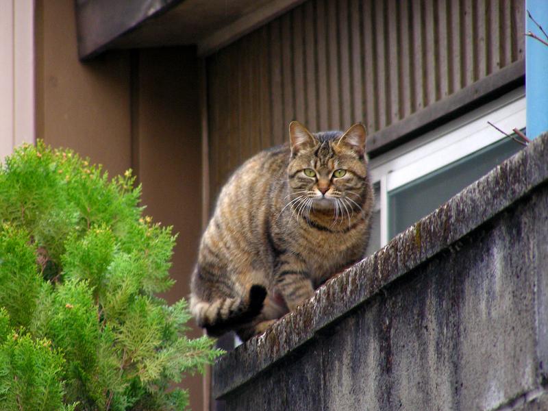 ブロック塀から振り返るキジトラ猫2