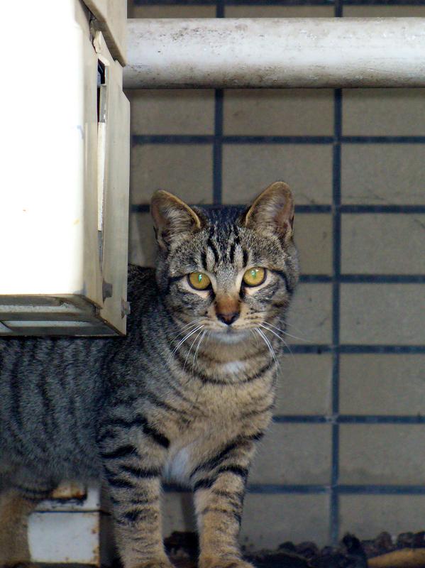 物陰に隠れたキジトラ猫2