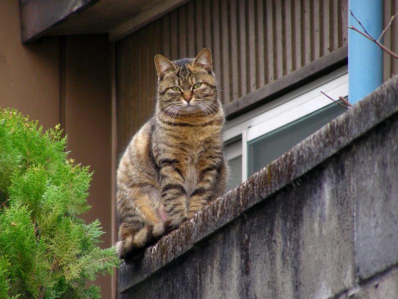 ブロック塀から振り返るキジトラ猫3