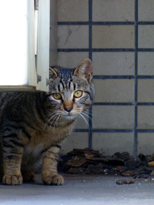 物陰に隠れたキジトラ猫3