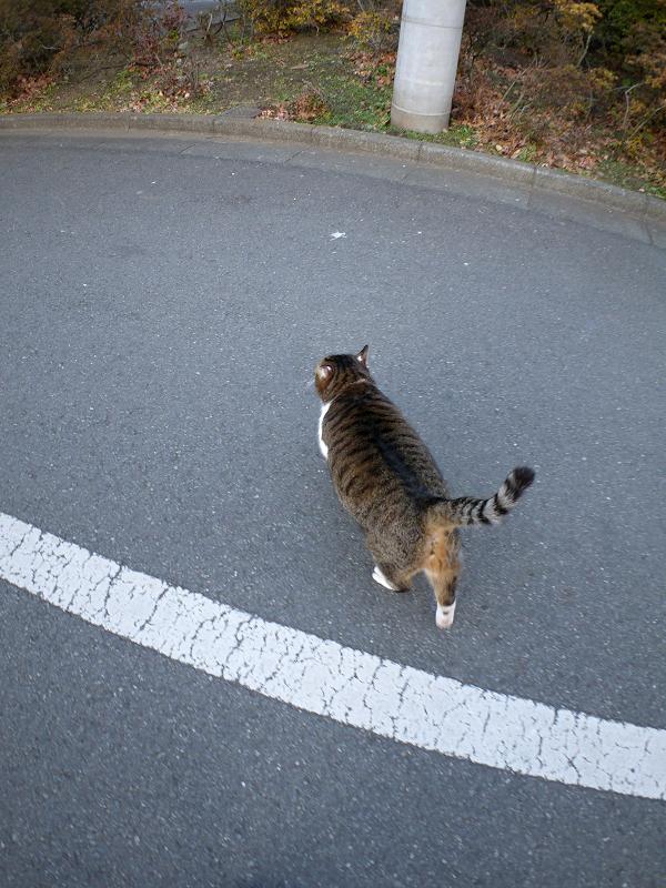 立ち去って行くキジ白猫1