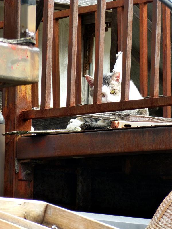ベランダ物干しのキジ白猫1