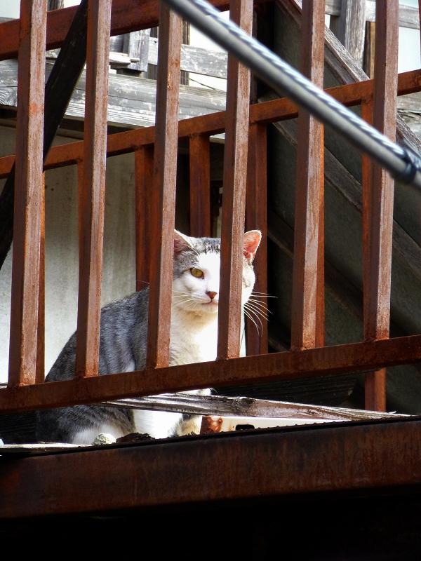 ベランダ物干しのキジ白猫2