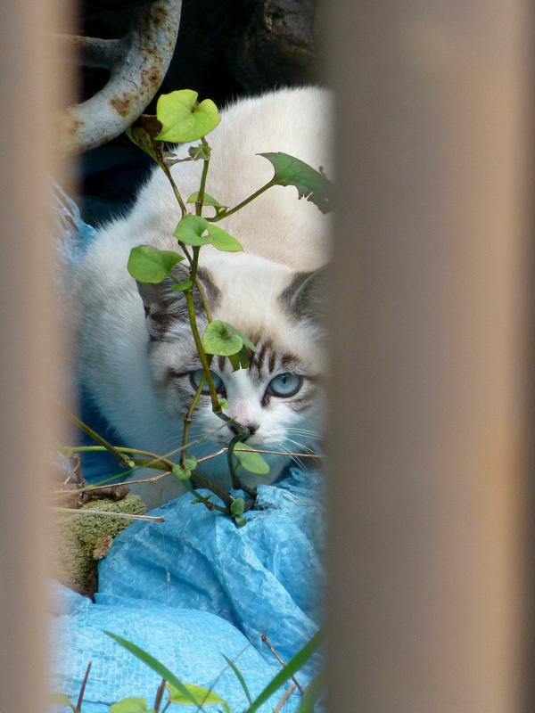 門扉隙間の洋風猫2