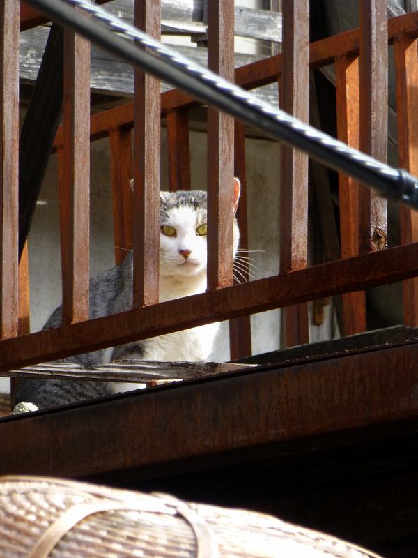 ベランダ物干しのキジ白猫3