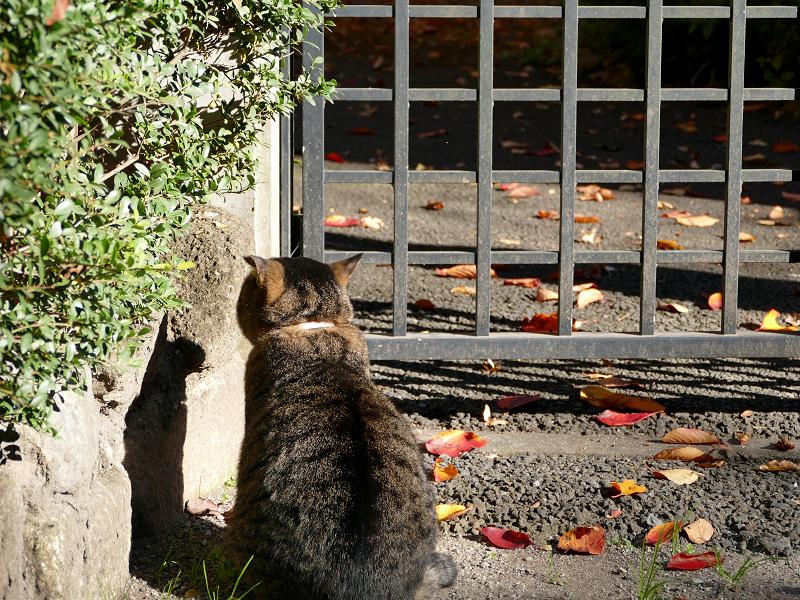 門扉前で待っていたキジトラ猫1