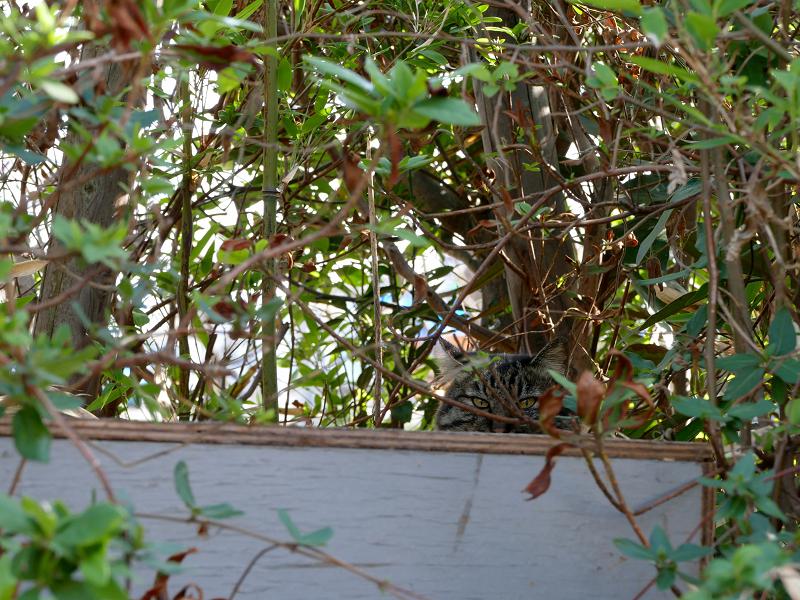 茂みから見ていたキジトラ猫1