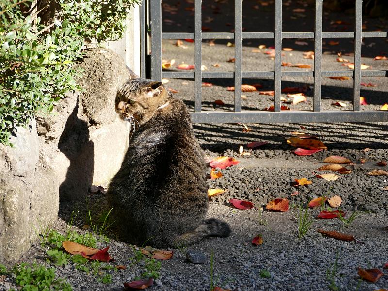 門扉前で待っていたキジトラ猫2