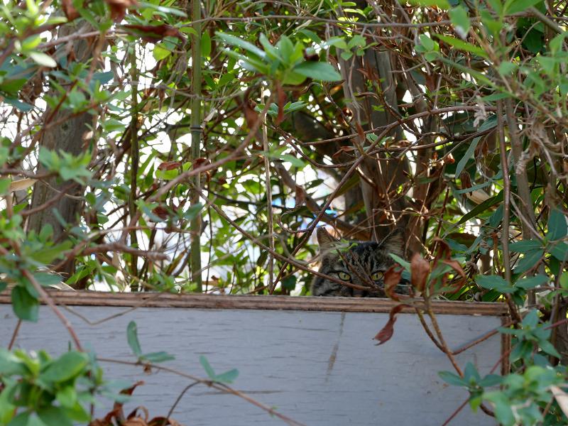 茂みから見ていたキジトラ猫2