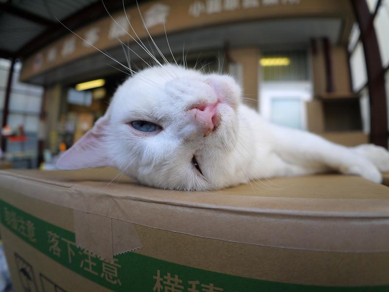 仰向けの白猫3