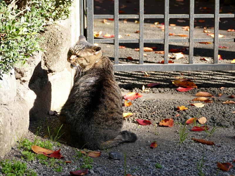 門扉前で待っていたキジトラ猫3