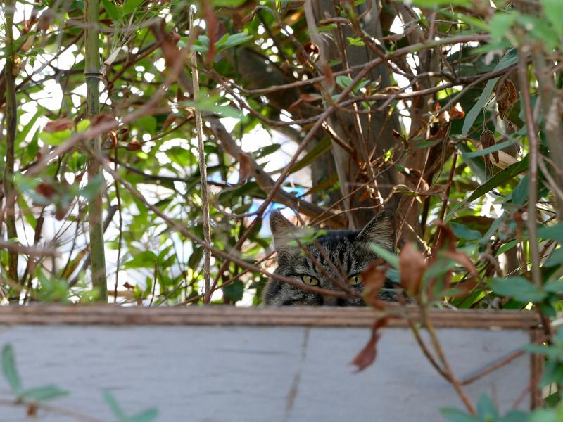 茂みから見ていたキジトラ猫3