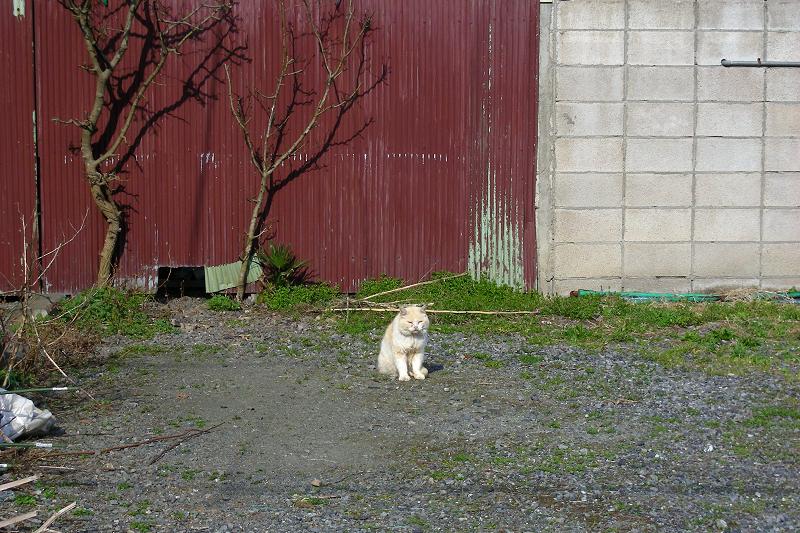 民家空き地の白猫1