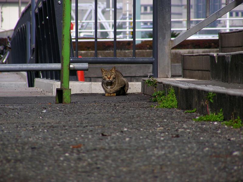 運河のそばのキジトラ猫2