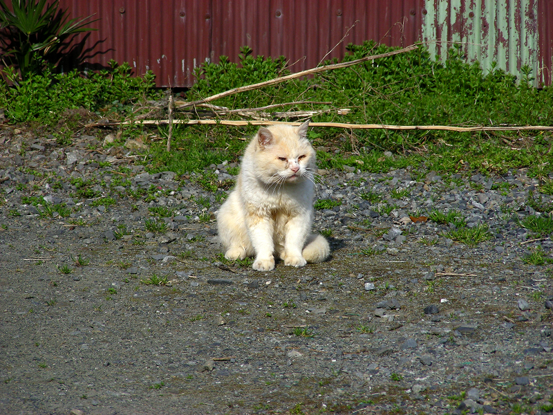 民家空き地の白猫2