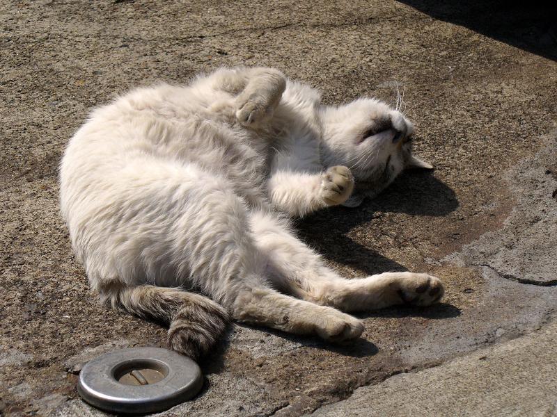 仰向けの白キジ猫2