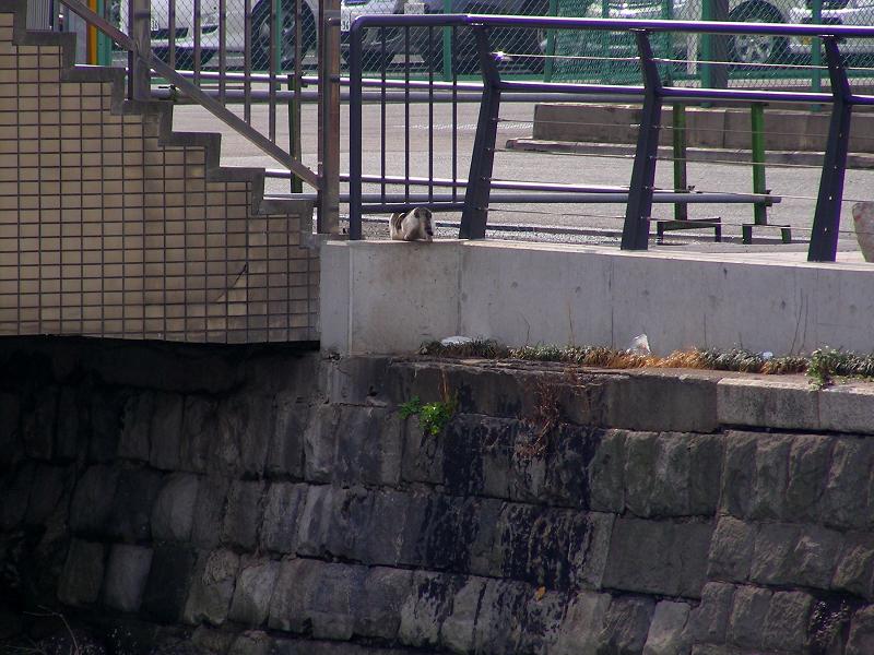運河のそばのキジ白猫