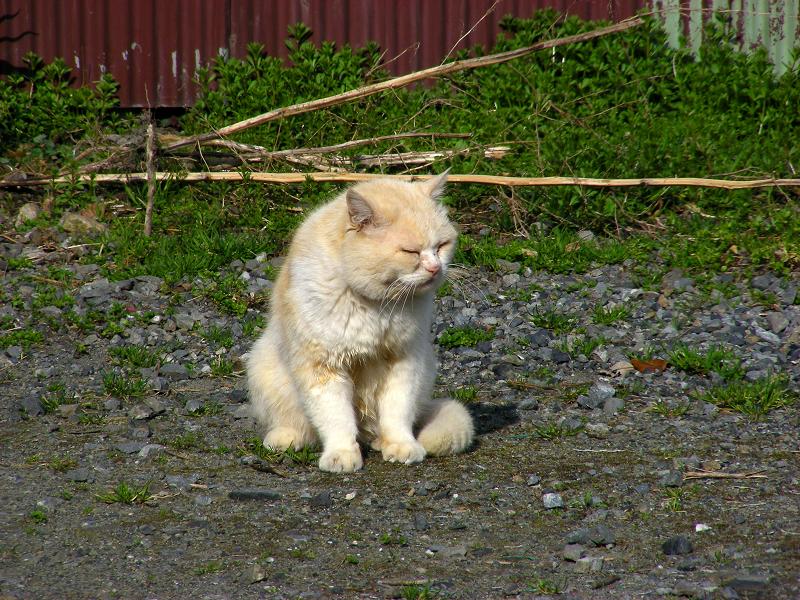 民家空き地の白猫3