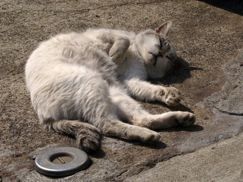 仰向けの白キジ猫3