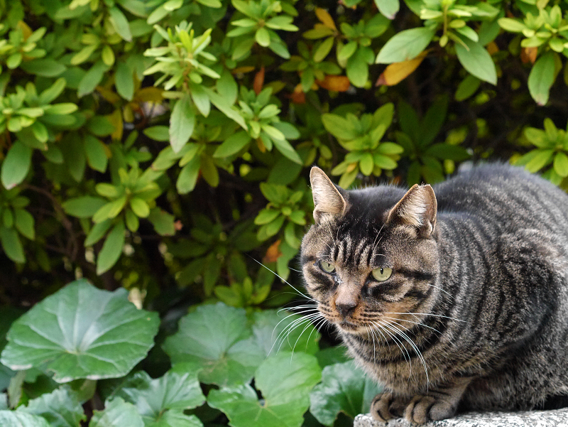 まるっとしたキジトラ猫1
