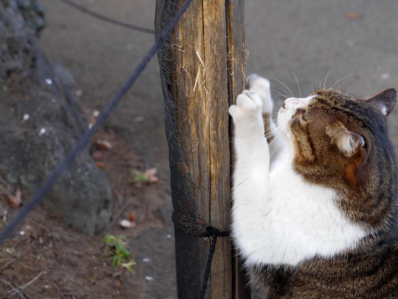 杭で爪を研ぐキジ白猫1