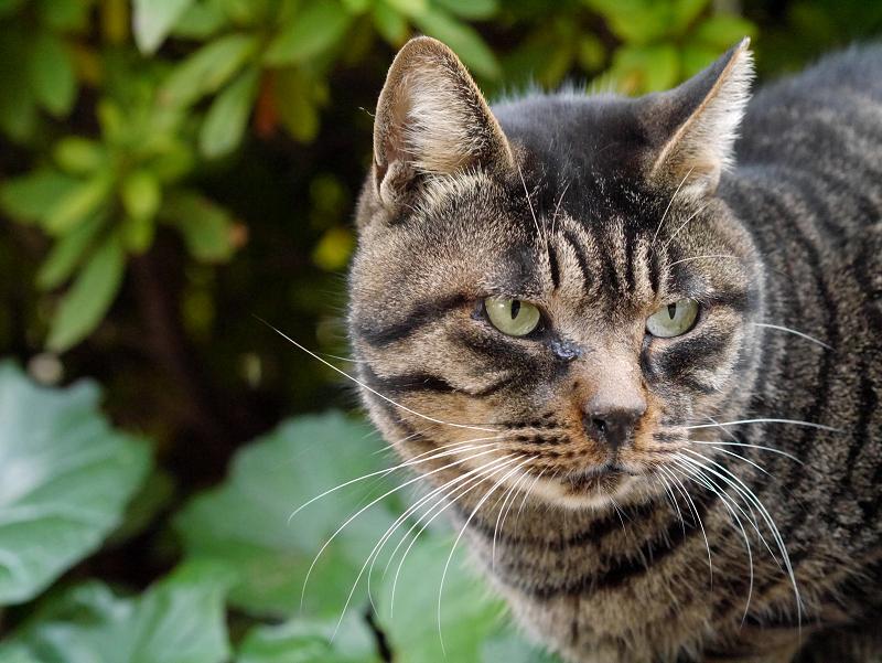 まるっとしたキジトラ猫2