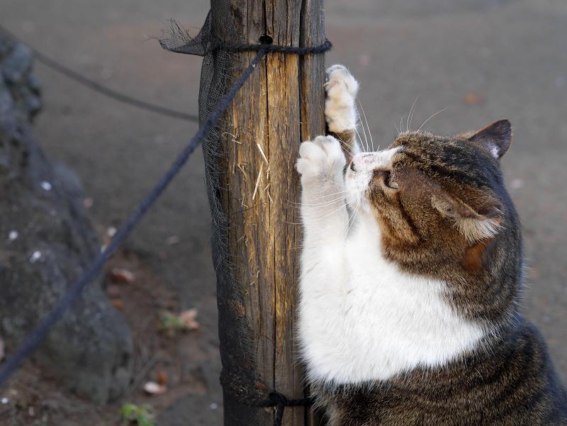 杭で爪を研ぐキジ白猫2