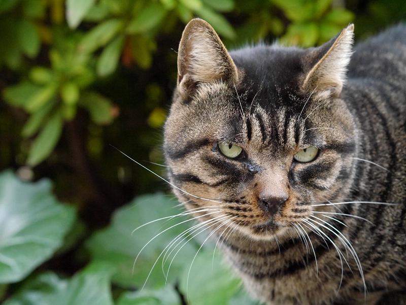 まるっとしたキジトラ猫3